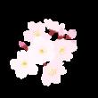 桜の花のイラスト